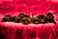 7 Chocolate Labs